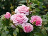 Edelrose 'Pacific Blue' ®, Rosa 'Pacific Blue' ®, Wurzelware