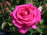 Edelrose 'Parole' ®, Rosa 'Parole' ®, Containerware