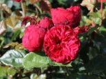 Edelrose 'Piano' ®, Rosa 'Piano' ®, Wurzelware
