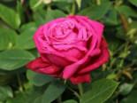 Edelrose 'Senteur Royale' ®, Rosa 'Senteur Royale' ®, Containerware