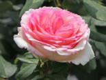 Edelrose 'Souvenir de Baden-Baden', Rosa 'Souvenir de Baden-Baden' ADR-Rose, Wurzelware