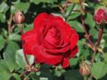 Edelrose 'Störtebeker' ®, Rosa 'Störtebeker' ®, Wurzelware