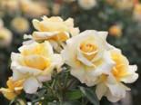 Edelrose 'Sunny Sky' ®, Rosa 'Sunny Sky' ®, Wurzelware