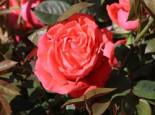 Edelrose 'Super Star' ®, Rosa 'Super Star' ®, Containerware