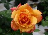 Edelrose 'Sutter's Gold', Rosa 'Sutter's Gold', Containerware