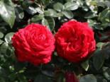 Edelrose 'Tiamo' ®, Rosa 'Tiamo' ®, Wurzelware