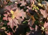 Eichenblättrige Hortensie 'Pee Wee', 30-40 cm, Hydrangea quercifolia 'Pee Wee', Containerware