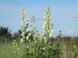 Eisenhut 'Schneewittchen', Aconitum napellus 'Schneewittchen', Topfware