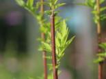 Elfenraute 'Guizhou', Artemisia lactiflora 'Guizhou', Topfware