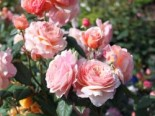 Englische Rose 'A Shropshire Lad' ®, Rosa 'A Shropshire Lad' ®, Wurzelware