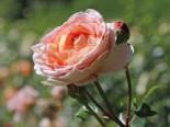 Englische Rose 'Abraham Darby' ®, Rosa 'Abraham Darby' ®, Containerware