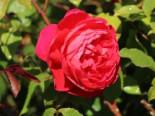 Englische Rose 'Benjamin Britten' ®, Rosa 'Benjamin Britten' ®, Containerware