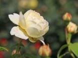 Englische Rose 'Claire Austin', Rosa 'Claire Austin', Wurzelware