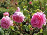 Englische Rose 'Constance Spry', Rosa 'Constance Spry', Containerware