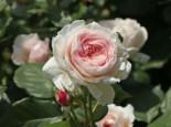 Englische Rose 'Geoff Hamilton', Rosa 'Geoff Hamilton', Containerware