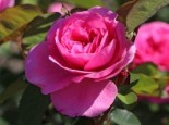 Englische Rose 'Gertrude Jekyll' ®, Rosa 'Gertrude Jekyll' ®, Wurzelware
