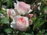Englische Rose 'Heritage' ®, Rosa 'Heritage' ®, Wurzelware