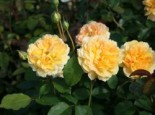 Englische Rose 'Molineux' ®, Rosa 'Molineux' ®, Containerware