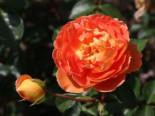 Englische Rose 'Pat Austin' ®, Rosa 'Pat Austin' ®, Wurzelware