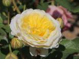 Englische Rose 'The Pilgrim' ®, Rosa 'The Pilgrim' ®, Wurzelware