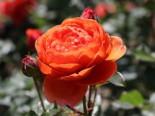 Englische Strauchrose 'Summer Song', Rosa 'Summer Song', Containerware
