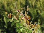 Erlenblättrige Felsenbirne 'Northline', 40-60 cm, Amelanchier alnifolia 'Northline', Containerware