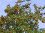 Essbare Vogelbeere / Eberesche 'Edulis', 80-100 cm, Sorbus aucuparia 'Edulis', Wurzelware