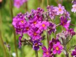 Etagen-Schlüsselblume, Primula beesiana, Topfware