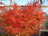 Fächer-Ahorn 'Beni Kawa', 40-60 cm, Acer palmatum 'Beni kawa', Containerware