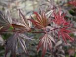 Fächer-Ahorn 'Pung Kil', 25-30 cm, Acer palmatum 'Pung Kil', Containerware