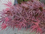 Fächer-Ahorn 'Red Pygmy', 30-40 cm, Acer palmatum 'Red Pygmy', Containerware