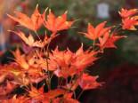 Fächer-Ahorn 'Reticulatum', 25-30 cm, Acer palmatum 'Reticulatum', Containerware