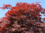 Fächer-Ahorn 'Roter Stern', 30-40 cm, Acer palmatum 'Roter Stern', Containerware
