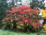 Fächer-Ahorn 'Seiryu', 150-175 cm, Acer palmatum 'Seiryu', Containerware