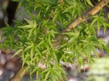 Fächer-Ahorn 'Sharp's Pygmy', 30-40 cm, Acer palmatum 'Sharp's Pygmy', Containerware