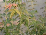Fächer-Ahorn 'Shino buga oka', 30-40 cm, Acer palmatum 'Shino buga oka', Containerware
