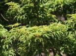 Fächer-Ahorn 'Shishigashira' / 'Cristatum', 40-60 cm, Acer palmatum 'Shishigashira' / 'Cristatum', Containerware