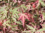 Fächer-Ahorn 'Taylor', 40-60 cm, Acer palmatum 'Taylor', Containerware