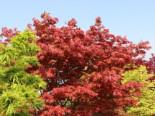 Fächer-Ahorn 'Yugare', 40-60 cm, Acer palmatum 'Yugare', Containerware