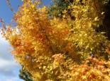 Fächerahorn 'Bi-hoo', 30-40 cm, Acer palmatum 'Bi-hoo', Containerware