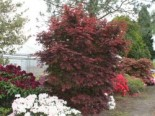Fächerahorn 'Pixie', 40-60 cm, Acer palmatum 'Pixie', Containerware