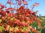 Fächerahorn 'Sangokaku', 40-60 cm, Acer palmatum 'Sangokaku', Containerware