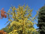 Fächerblattbaum Ginkgobaum
