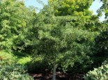 Fächerblattbaum 'Tubifolia', Stamm 60 cm, Ginkgo biloba 'Tubifolia', Stämmchen