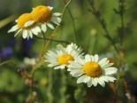 Färber-Hundskamille 'Wargrave', Anthemis tinctoria 'Wargrave', Topfware