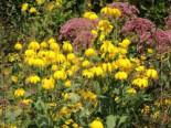 Fallschirm-Sonnenhut 'Juligold', Rudbeckia nitida 'Juligold', Topfware