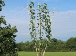 Familienbaum Birne '3 Sorten als Spalier gezogen', 125-175 cm, z. B. Sommer-, Herbst-, Winterbirne, Containerware am Spalier