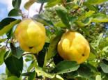 Familienbaum Quitte 2 verschiedene Sorten