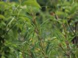 Farnblättriger Faulbaum 'Asplenifolia', 40-60 cm, Rhamnus frangula 'Asplenifolia', Containerware