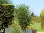 Farnblättriges Pulverholz 'Fine Line' ®, 60-100 cm, Rhamnus frangula 'Fine Line' ®, Containerware